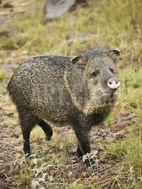 """A limping javelin. """"Here is your pig, Lord. Please heal his foot."""" - Elisabeth Elliot. Prayer is enough!"""